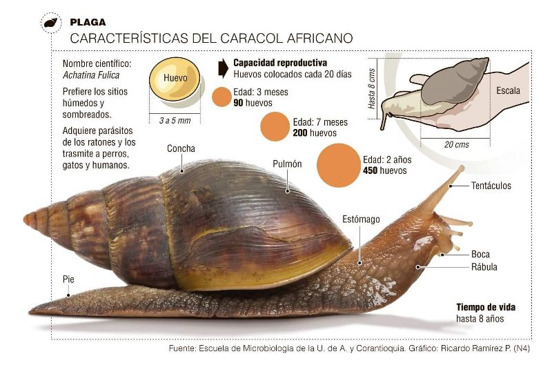 caracol-africano